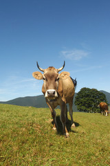 cow with beautiful horns on the field
