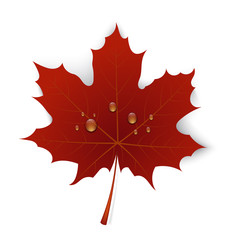 Red maple leaf with drops of water on a white background
