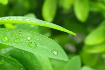 Green Foliage and rain drops