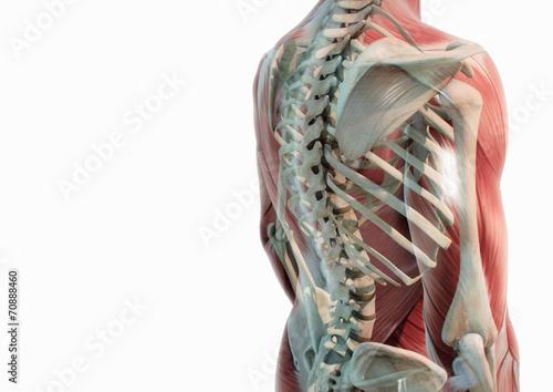 Oberkörper Anatomie Muskeln und Knochen\