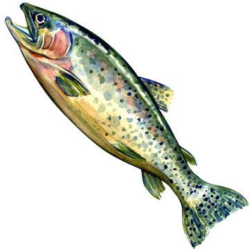 coho salmon fish on white background