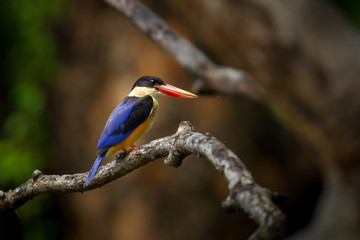 Rgiht side  of Stork-billed Kingfisher  on the branch