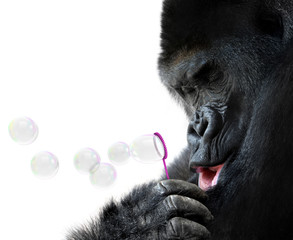 Animal portrait of a gorilla blowing bubbles with a wand