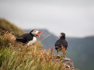 Deux 2 Macareux moine oiseau en Islande