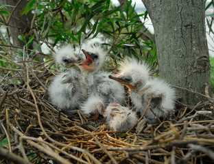 great egret chicks in nest