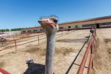 Ostrich on a farm in Serpukhov, Moscow Oblast, Russia
