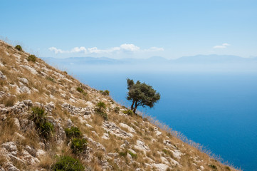Old olive tree on a steep mountain with blue sea in background