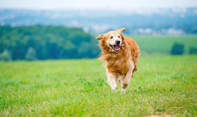 Running Golden retriever dog