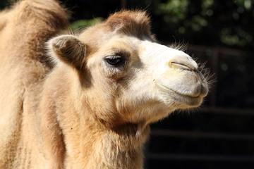 Poster Kameel Portrait of a camel close up