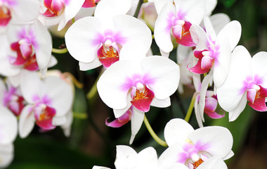 Beautiful flower white orchid