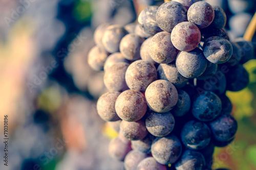 Wall mural dettaglio di grappolo di uva da vino
