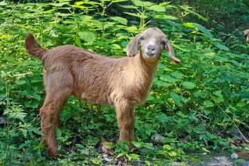 Funny baby Angora goat - Capra aegagrus.