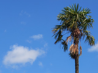 Palm tree against Blue Sky with One Cloud