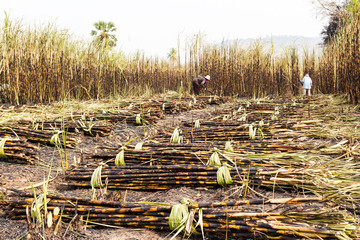 workers harvesting sugarcane in farm