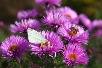 Butterfly on michalmas daisy.