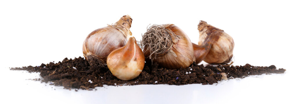 Flower bulbs with soil isolated on white