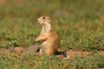 Fotoväggar - Black-tailed Prairie Dog (Cynomys ludovicianus)