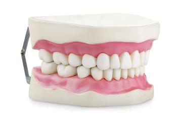 Anatomical jaw model