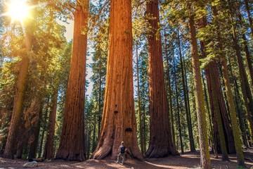Fototapete - Sequoia vs Man