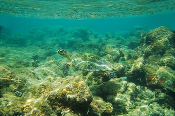 Sea Turtle swimming near reef