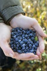 wild blueberries and blackberries in the hands of