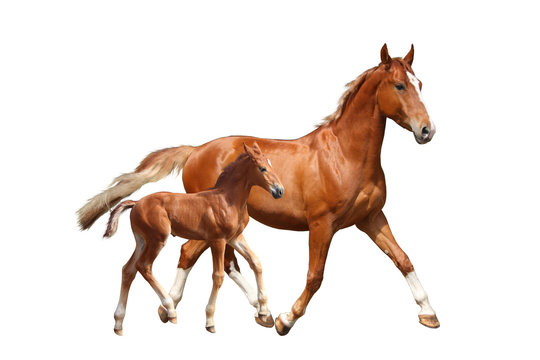 Cute chestnut foal and his mother trotting on white background