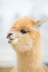 Closeup of an Alpaca