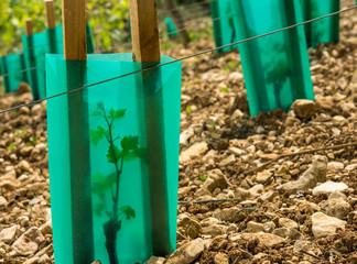 planter de petits pieds de vigne