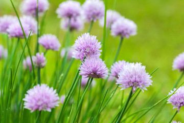 Purple chives blossom, macro photo with selective focus