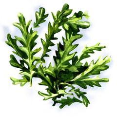 fresh arugula rucola leaves isolated