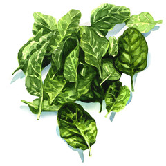 watercolor fresh leaves of spinach