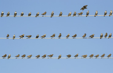 Starlings flock on three wires