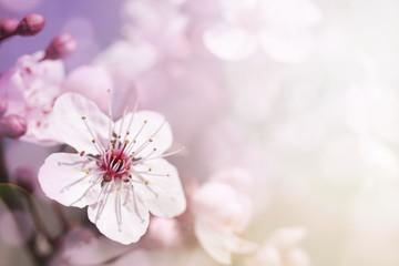 Cherry branch in blossom
