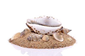 Znalezione obrazy dla zapytania muszle morskie na białym tle