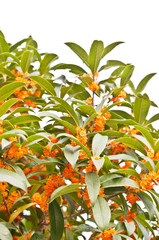 Red osmanthus flowers in full bloom in the fall
