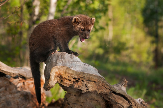 Young Fisher (Martes pennanti) Cries Out from Atop Log