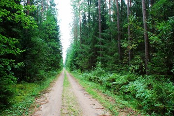 Green forest and road at summer time