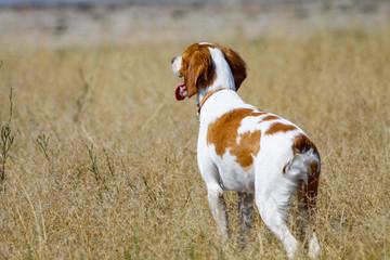 Brittany spaniel, hunting dog on field