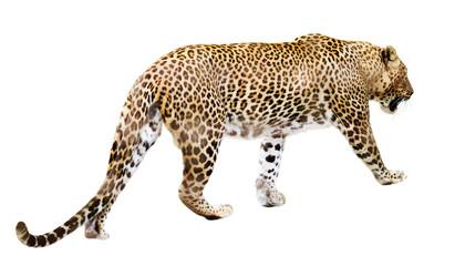 In de dag Luipaard Walking leopard over white
