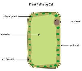 Labelled diagram of plant palisade cell