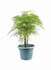 green asparagus fern