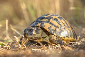Hermann's tortoise (Testudo hermanni) in Grassy Environment Ital
