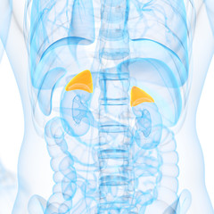 medical 3d illustration of adrenal glands