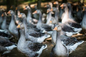Geese raised for goose liver pate on farm, Dordogne, Aquitaine,