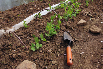 young plants and gardering tool