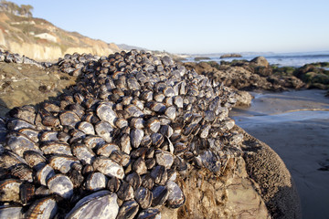 Muscle Shells on Rock