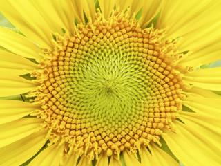Macro sunflower pollen