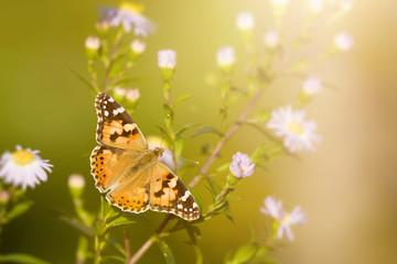 butterfly Vanessa cardui