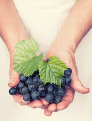 Elderly hands holding organic fresh wine grapes with retro style
