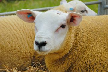 Texel Sheep Wall mural